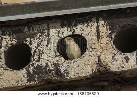 A Sparrow Peeks Out Of A Hole In A Concrete Slab
