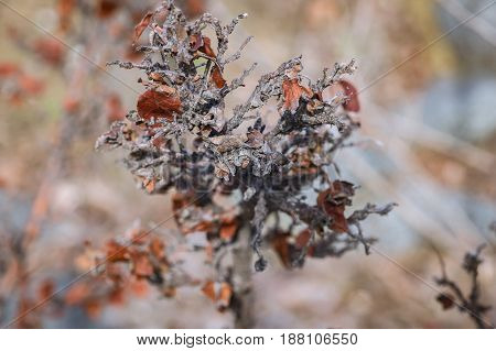 Branches Of A Dead Shrub With Dried Leaves