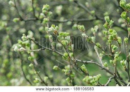 Blossoming Buds On Bush Branches