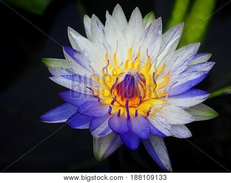 Close up blooming waterlily or lotus flower