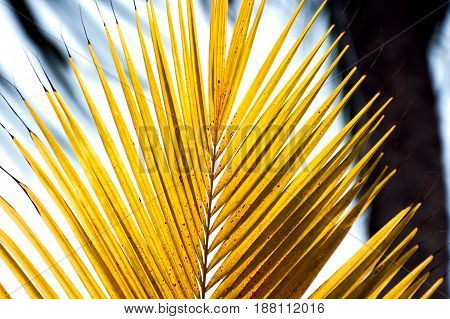 Tip of a yellow palm frond  in bright yellow