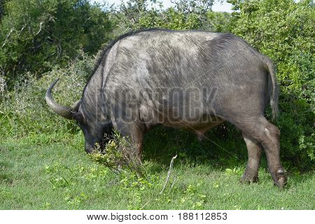 Cape Buffalo Foraging, Addo Elephant National Park
