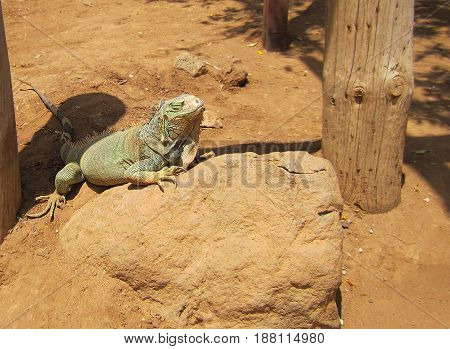 Iguana rejoices under the sun with closed eyes in the desert on a stone tropical lizard