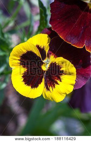 Yellow vinous pansy flowers (Viola tricolor). Close-up.