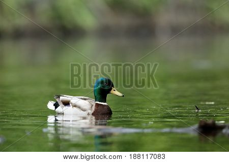A Wild Duck Drake Mallard on a pond