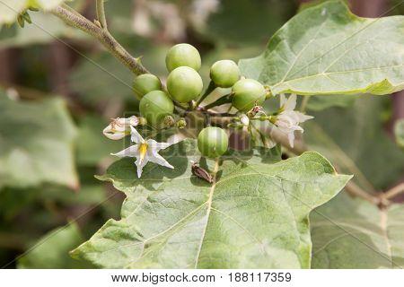 Little eggplant or turkey berry Fresh fruit on the tree