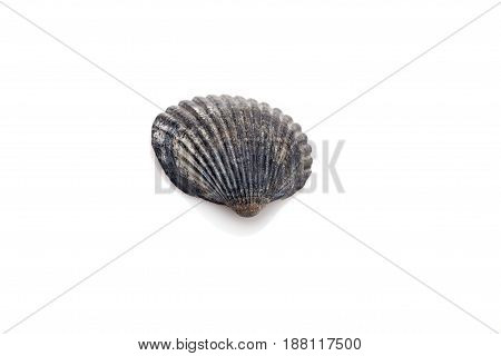 Seashell isolated on white background closeup. Ocean seashell.