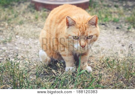 Portrait of a sad red cat outside