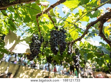 Bunches of Tinta Negra Mole grapes on pergola trellising Estreito de Camara de Lobos on Madeira. Portugal