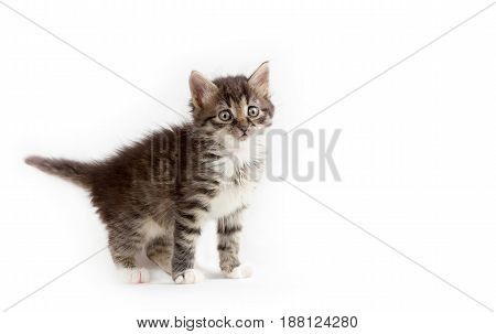 cute little grey fluffy kitten isolated on white background with space for text