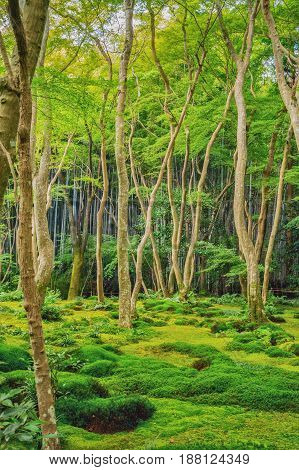 Beautiful mixed bamboo and deciduous tropical forest near Kyoto Japan