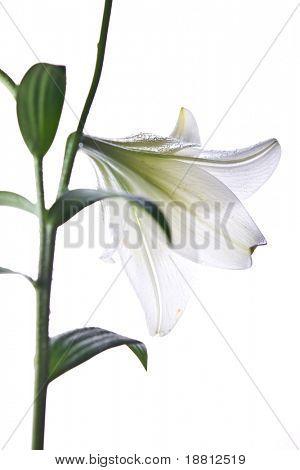 Isolated white lily (longiflora)