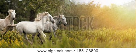 Beautiful white horses running in the field - website banner