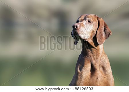 Portrait of a beautiful old Hungarian Vizsla dog