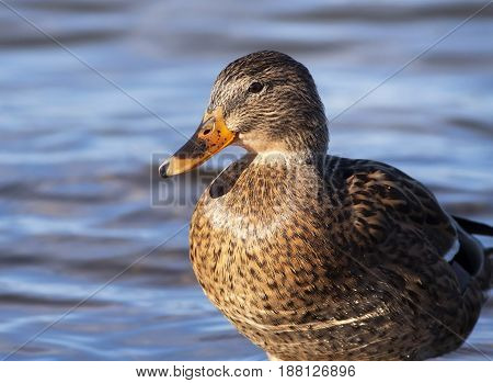 Hunting in Autumn - duck close up portrait