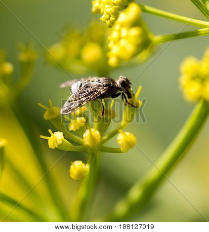 An insect on a yellow flower in nature. macro