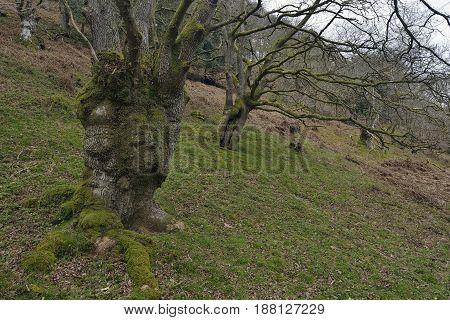Pollarded Sessile Oak Woodland - Quercus petraea Hodder's Combe Quantock Hills Somerset