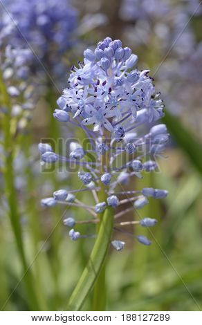 Amethyst Meadow Squill