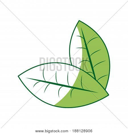 fresh green mint leaves herbal drink icon vector illustration