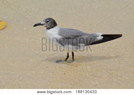 Laughing gull standing in shallow waters on the edge of the beach.