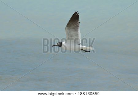 Gorgeous laughing gull flying with his wings extended in flight.