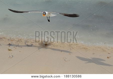 Flying laughing gull with food in his bill over the ocean.