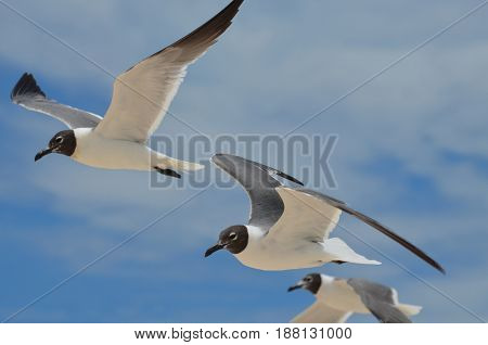 Three black and white laughing gulls in the blue skies.