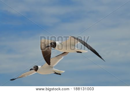 Attractive black and white laughing gulls in the skies.