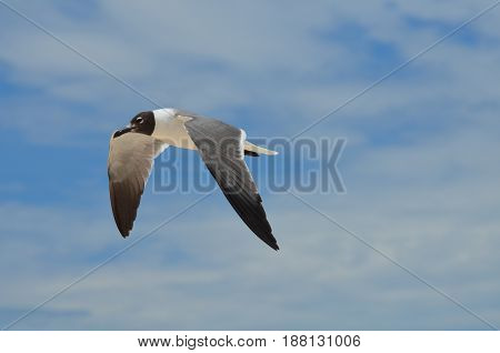 Black and white laughing gull in flight in the sky.