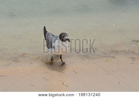 Wading gull in shallow ocean waters on the beach.