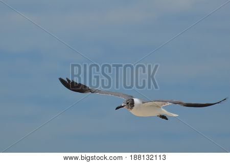 Flying gull with his wings extended with white and black coloring.
