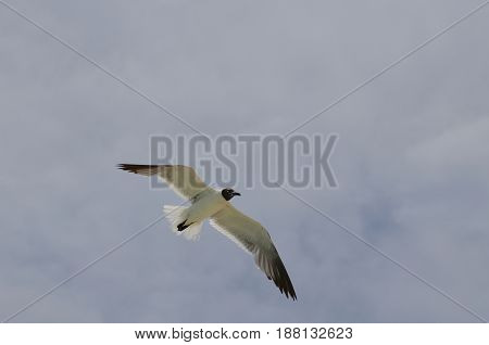 Flying laughing gull in flight over thick cloudy skies.