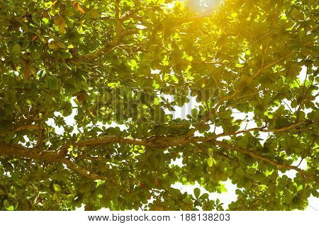 The Sun And Sunlight With Branches And Deep Green Foliage Of Tropical Sea Almond Tree For Background