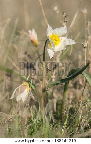 Tulip two-flowered (tulipa biflora) in steppe grass in spring. Volgograd Region Russia.