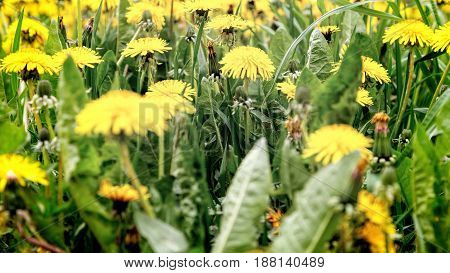 Field of dandelions. Yellow dandelion flowers in green grass. Spring field of yellow flowers. Summer and Sunny day. Photos low point.