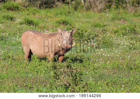 Warthog at Addo Elephant National Park - South Africa