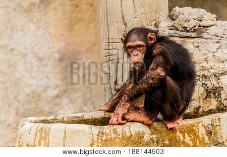 The portrait of young black chimpanzee .