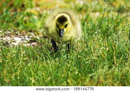 A very young gosling staring right at the camera while walking through the grass