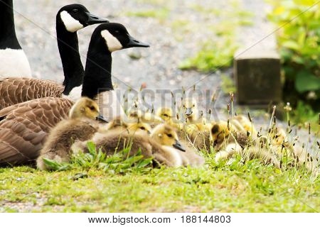 Gosling lay in the grass with their parents at a local pond