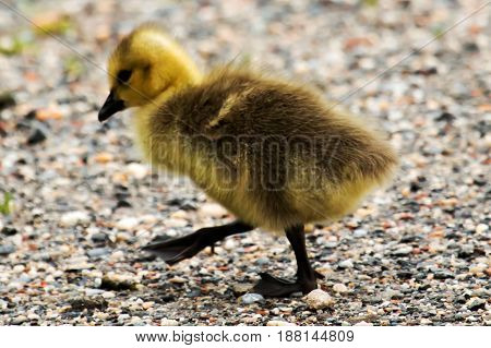 Gosling crosses a dirt path trying to catch up to his family