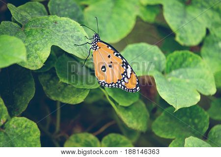 butterfly and green leaf in the garden for nature background.