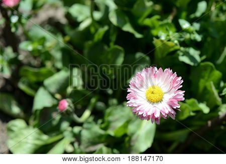 A Small Flower Of An Aster In A Garden Close Up