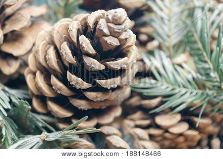 Pine cone and coniferous branches close up.