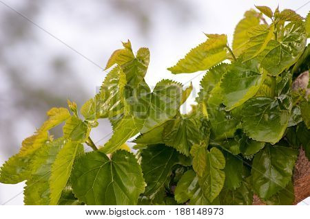 Leaves of vines in a garden of the island of Crete
