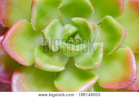 Top view cute green and red succulent plant macro close up background.
