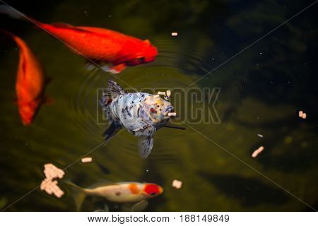 shubunkin in the pond with goldfishes, animal