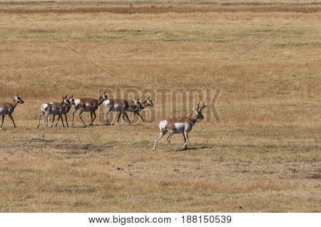 a herd of pronghorn antelope on the prairie