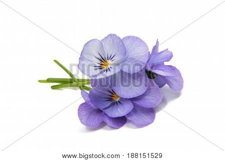 Pansies beautiful flower isolated on white background
