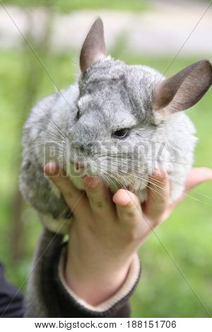 Cute gray chinchilla on the girl hand