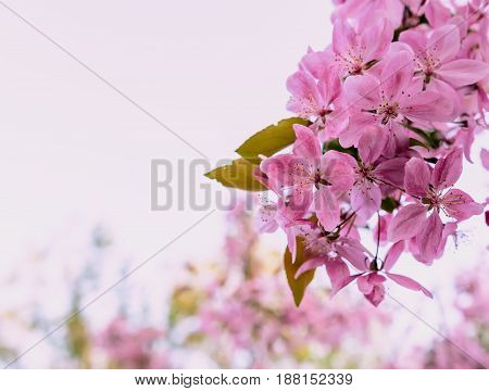 Beautiful Pink Cherry Blossom Flowers close up